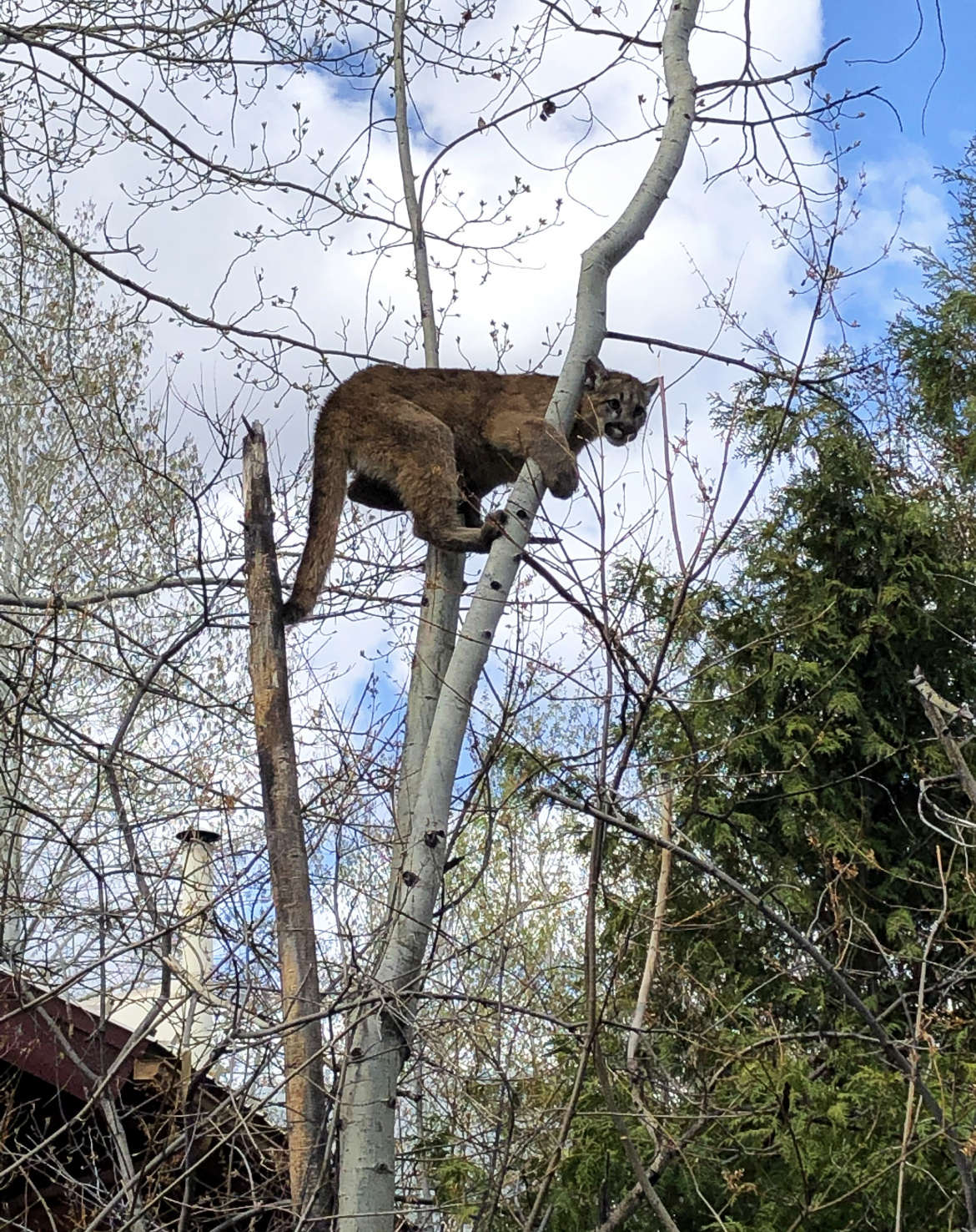Mountain lions sightings continue throughout the Wood River Valley, caution advised